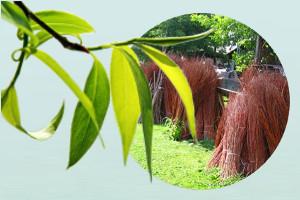 Weidenruten aus Weidenplantagen